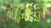 Different herbs - spices dried on a rope. Back background - blurred green. 4K video. Stock Footage
