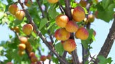 harvest : Harvest ripe apricots on a tree on a sunny summer day. Stock Footage