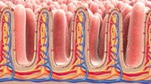 It Contains Peyers Patches In The Small Intestine. 3D Medical Animation