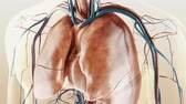 venous : respiratory system and vascular system