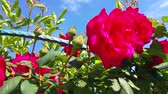 flower bed : Red Roses in the Garden