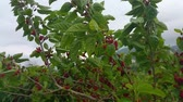 murier : mulberry tree