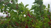 amoras : Fresh Mulberries Hang On A Tree Swaying In The Wind Vídeos