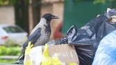 nature close up : Raven looking for food in waste bins. Big smart black bird rake up the trash bags. Big gray crow raises a garbage can in the city.