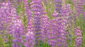 hyacint : Grape hyacinth flowers closeup against background sky. Nature scene. Slow motion