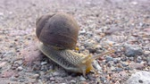 Big grape snail on the road. Closeup. Big snail in shell crawling on the road, summer day in garden. Close up.
