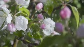 gomos : A tree apple branch with flowers in the rain. Slow motion. Closeup on flowering bloom of apple tree blossoming flowers in spring garden. Stock Footage