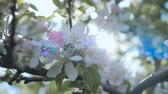 Close up for white apple flower buds on a branch. Closeup on flowering bloom of apple tree blossoming flowers in spring garden. Slow motion. Shallow DOF. Spring day. Blue sky. Stock Footage