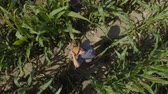 milharal : Zoom Man Hat in Young Corn Field and Examining Crop. Aerial View Directly Above a Farmer Monitoring His Corn With Tablet. Corn Field Farmer Landscape Nature Agriculture Growth Drone Footage Man.