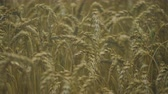 ферма : Spikelets of Wheat in Rain Weather. Yellow Wheat Field Close Up. Slow Motion. Agriculture, Farming, Cereal.
