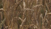 spikelet : Spikelets of Wheat in Rain Weather. Yellow Wheat Field Wind Close Up. Slow Motion. Agriculture, Farming, Cereal.