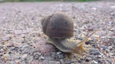 escorregadio : Big grape snail on the road. Closeup. Big snail in shell crawling on the road, summer day in garden. Close up.