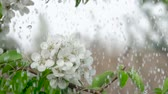 cherry blossom branch : A tree cherry branch with flowers in the rain. Closeup. Slow motion. Water drops falling on green leaves and white flowers. Close up. Spring bloom of cherry flowers. Stock Footage