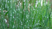 роса : Rain water drops falling over green grass. Water rain drop for fresh nature Closeup. Slow motion. Water drops falling on green leaves. Close up. Drops of on the grass. Стоковые видеозаписи
