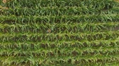 milharal : Man in Hat Walking Through Corn Field and Examining Crop. Aerial View Directly Above a Farmer Monitoring His Corn With. Corn Field Farmer Landscape Nature Agriculture Growth Drone Footage Man Vídeos
