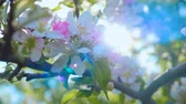 virágzik : Closeup on flowering bloom of apple tree blossoming flowers in spring garden. Slow motion. Close up for white apple flower buds on a branch. Shallow DOF. Spring day. Blue sky.