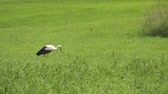 A stork is walking along the green grass