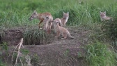 лиса : Dad Fox feeds their offspring