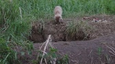 wildlife : Littele fox hole calls her brother
