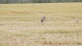 hare : Gray Greyhound runs to the camera Stock Footage