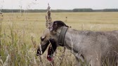 greyhound : Gray Greyhound stands in the tall grass