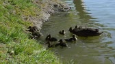 progeny : Feeding of duck family would lake in the park. Animal scene. Beauty in nature. Anas platyrhynchos.