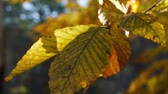 осень : CU detail of autumn leaves on a tree branch with depth of field.