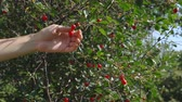 alimentação : Someone gathers a harvest of red berries, tears the cherry from the branches on a bright sunny day.