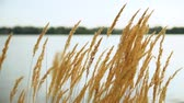 метелка : Golden grass swaying in the setting sun on the background of the pond. Panicles fluffed from the wind.