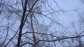 It is snowing, snowbound dark tree trunks against the gray cloudy sky on a winter day. Wideo