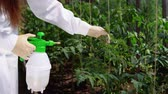 köntös : A young woman in a white robe and gloves sprinkles plants with a special solution for prevention and control of agricultural pests, viral and bacterial diseases of tomatoes, close-up.