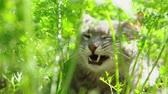 tomcat : A gray cat with green eyes lies among the grown green carrots and enjoys a warm day. Stock Footage