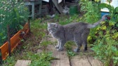 tomcat : A gray cat with green eyes walks in the garden among green onions and herbs and enjoys a warm day.