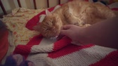 knír : Male hand strokes a cute ginger cat that frowns with pleasure. The pet lies on a red striped blanket and enjoys the caress. Dostupné videozáznamy