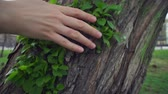 alcanzar : Camera follows close-up of female hand touches green young leaves on old rough apple trunk on warm spring day.