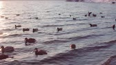 gleccser : Flock of ducks swims in cold water near the icy coast. Waterfowl dive for search write under the water, the shore is covered with white snow.