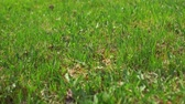 若々しい : Point-of-view shot close up of youthful green lawn in spring together with old dry yellow grass.