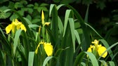 floral : Yellow iris flower bloom in green grass Stock Footage
