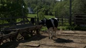 moço : Cow walking from pasture to feeder in sunny day Stock Footage