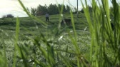 moço : Cows grazing in a meadow changing focus view Stock Footage