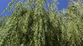 scrambling : The branches of the willow on the background of the blue sky.