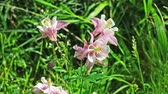 Pink flowers of Aquilegia on green grass background in spring Sunny .