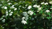 ботаника : Branches of the beautiful shrub Spiraea nipponica swinging on .