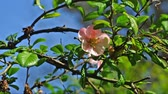virágzik : Spring natural background with flower Japan quince on the background of the sky. Stock mozgókép