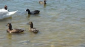 Lake with many different birds in Yevpatoriya . Stock Footage