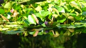 natural background with water lilies plants in the pond and reflection in the water