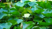 yellow-white water Lily on the background of green leaves in the pond