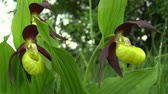 blossom : Wild beautiful slipper orchid Cypripedium calceolus, South Moravia, Europe