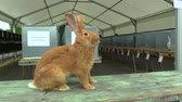 anlamlı : Breed of Burgundy rabbit at the exhibition in the Czech Republic Stok Video