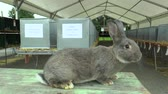 anlamlı : The breed of the rabbit chinchilla, the exhibition